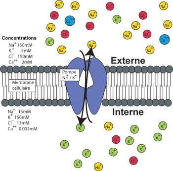 Les pompes échangeuses d'ions, comme la pompe Na/K, échangent des ions de différentes espèces et génèrent des gradients électrochimiques pour divers types d'ions (Crédit :Erik Harvey-Girard).