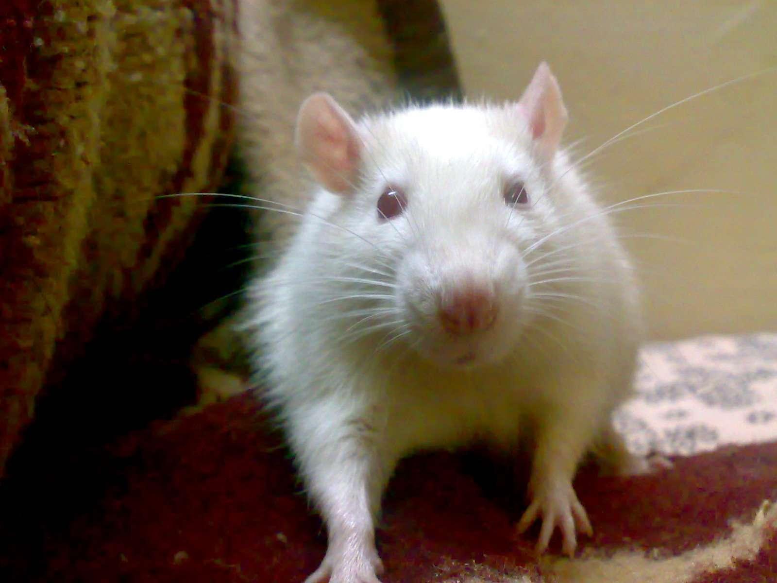 Les bébés de rats obèses vieillissent plus vite