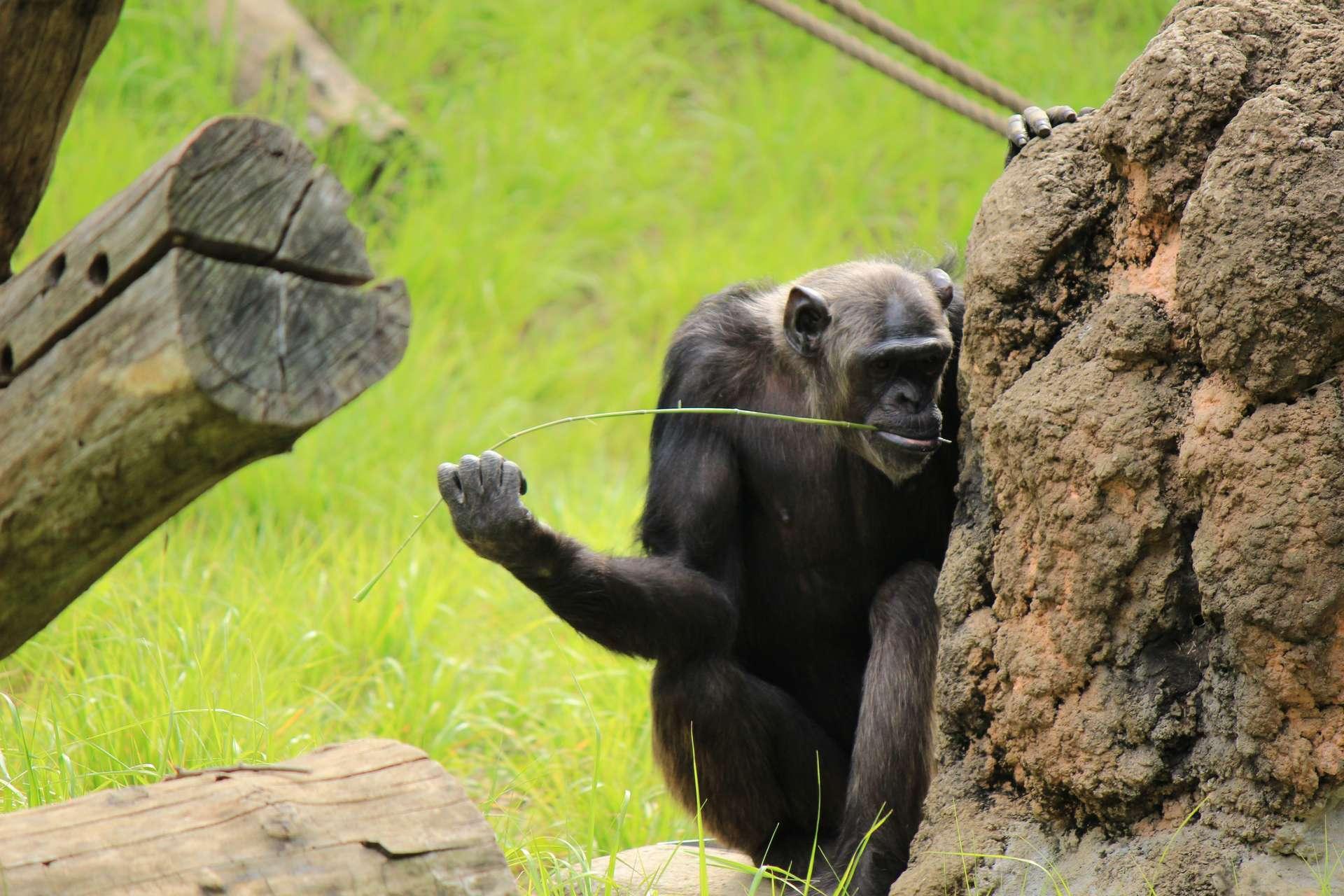Certains chimpanzés utilisent des tiges qu'ils plongent dans une termitière. Les termites s'y accrochent, ce qui les laisse les picorer sans le moindre effort. © Onimihcu, Adobe Stock