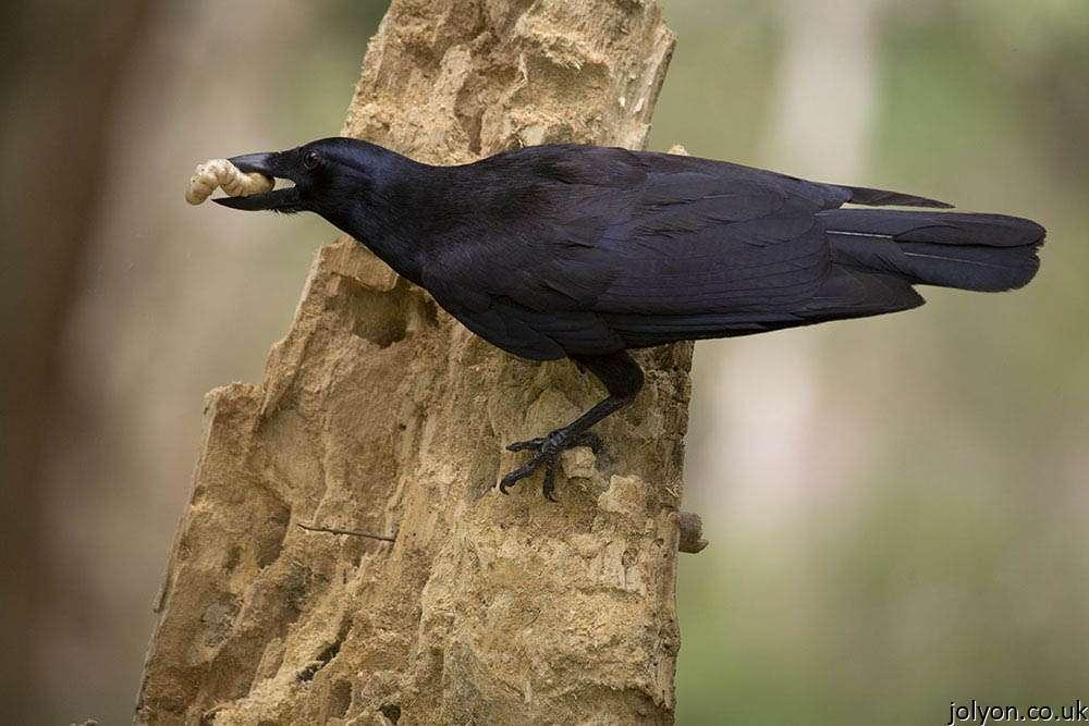 Un corbeau de Nouvelle-Calédonie (Corvus moneduloides), l'une des espèces dont le comportement cognitif est étudié à l'université d'Auckland. © Jolyon Troscianko