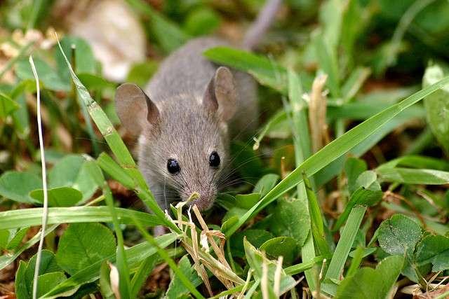 Les chercheurs ont pu étudier avec précision les vocalises amoureuses des souris mâles et femelles, jusqu'à présent imperceptibles, grâce à un logiciel spécifique appelé Muse (de l'anglais, Mouse Ultrasonic Source Estimation qui signifie Estimation de la source d'ultrasons de souris). © Mark Bray, Flickr, CC by 2.0