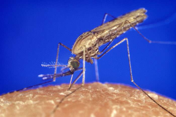 Anopheles gambiae est un moustique qui peut transmettre l'agent du paludisme, un parasite du genre Plasmodium. © CDC/James Gathany, Wikimedia Commons, DP