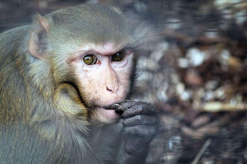 Les macaques rhésus (Macaca mulatta) sont des animaux très souvent utilisés comme modèle dans la recherche scientifique. S'ils nous ont déjà aidés à déterminer les groupes sanguins, ils pourraient aussi contribuer à soigner la paralysie. © GraphicReality, Flickr, cc by nc sa 2.0
