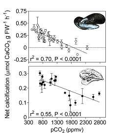 La vitesse d'incorporation de carbonate de calcium (en ordonnée) se réduit avec l'augmentation de gaz carbonique (pCO2, ou pression partielle, en abscisse). L'effet sur la moule est nettement plus sensible.Crédit : Gazeau et al., 2007.