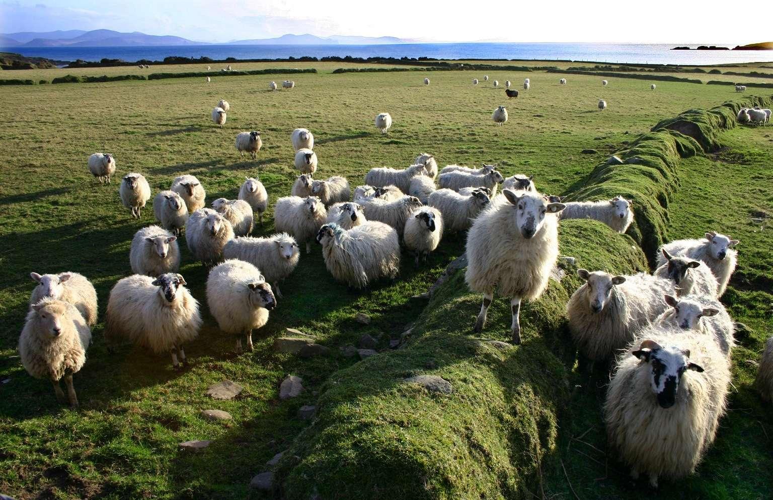 Les élevages de moutons sont les plus touchés par le virus de Schmallenberg, représentant à eux seuls 57 % des contaminations. Les Hommes, quant à eux, devraient être tranquilles... © Kman999, Fotopédia, cc by nc nd 2.0