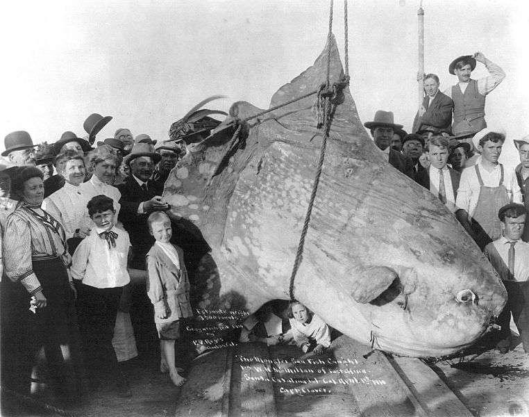 Photo d'un poisson lune pêché en 1910. © Library of Congress United States, domaine public