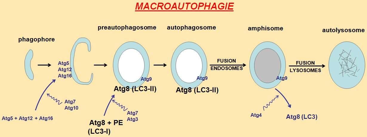 La macroautophagie est un processus biologique complexe, commençant par la formation d'un phagophore qui, à l'aide de protéines (Atg), va évoluer jusqu'en autolysosome, pour venir dégrader une partie du contenu cytoplasmique. © Eb billard, Wikipédia, DP