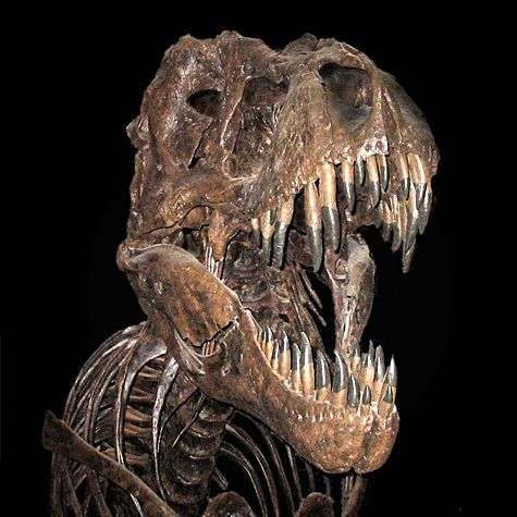 Les tyrannosaures ont vécu à la fin du Crétacé, il y a 70 à 65 millions d'années. Plus de 30 fossiles ont été découverts à ce jour. © GFDL, Wikimedia Commons, cc by sa 2.0