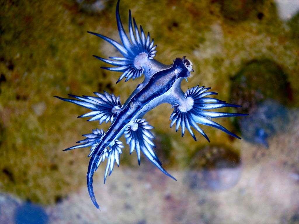 Un Glaucus atlanticus échoué à Sydney, en Australie. © Sylke Rohrlach from Sydney, CC by-sa 2.0