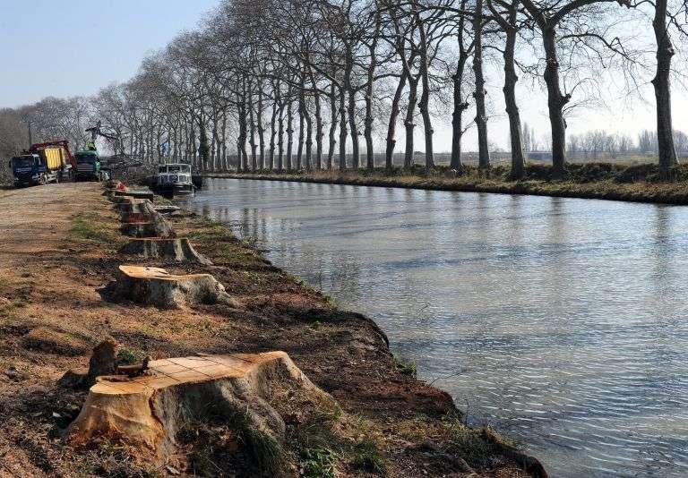 Des platanes abattus sur le canal du Midi. Construit entre 1666 et 1681, cet ouvrage est l'un des plus vieux canaux d'Europe. © Pascal Guyot, AFP Photo