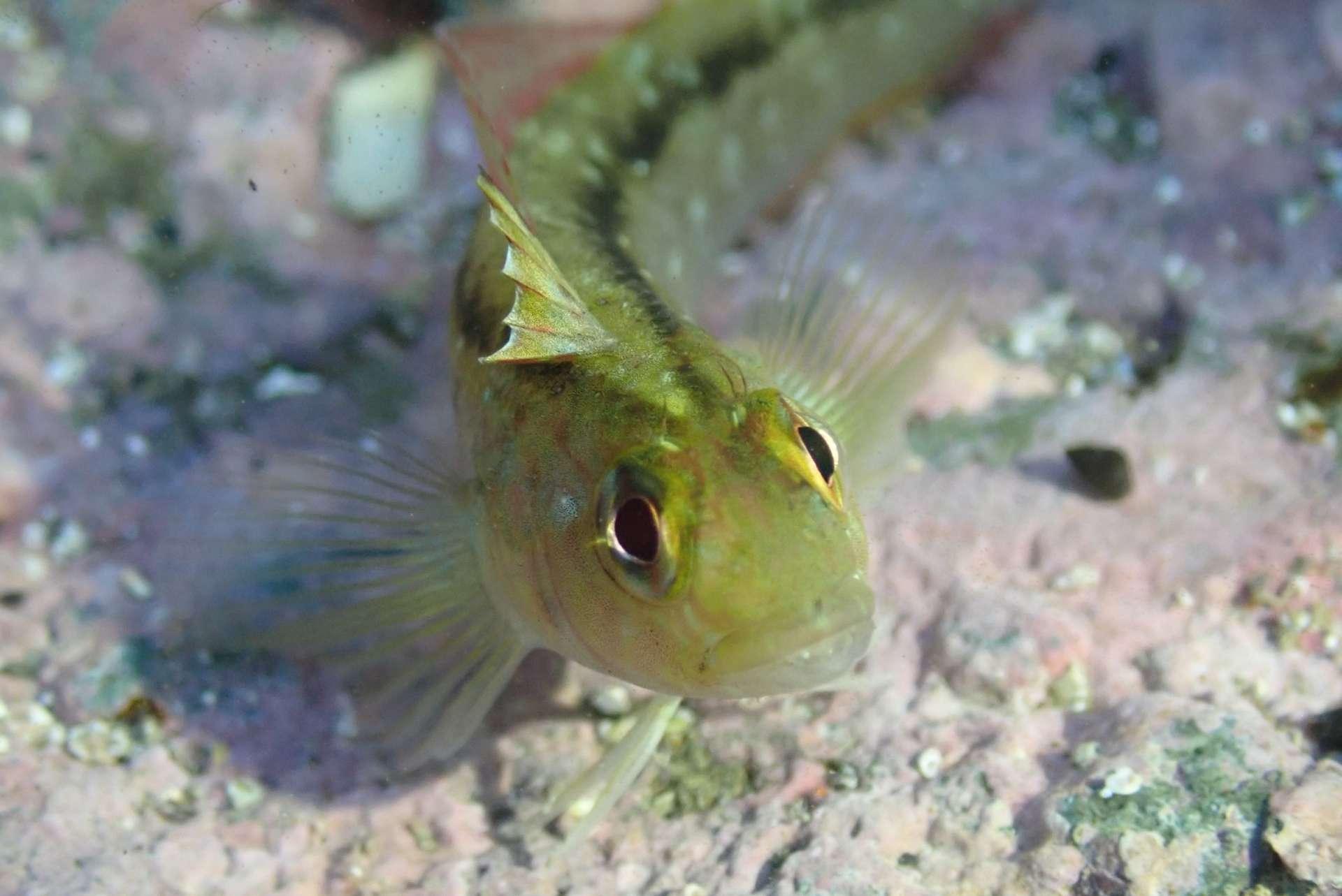 Le triplefin commun (Forsterygion lapillum) développe des organes sexuels plus gros dans un océan acide. © fiestykakapo, iNaturalist