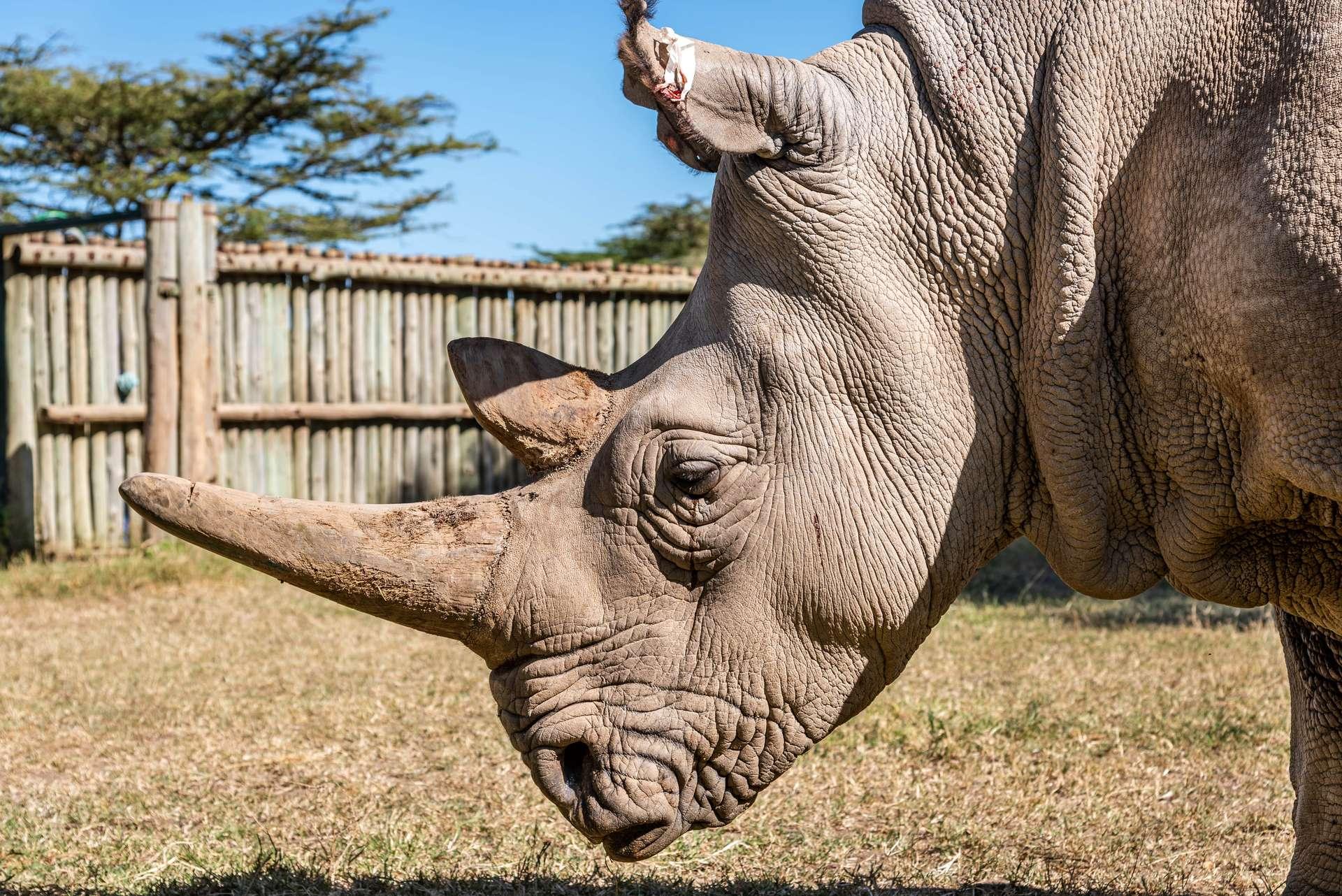 L'une des deux dernières rhinocéros blanches du Nord, Najin, après la procédure de collecte des ovocytes. Tout s'est bien passé ! © Rio the photographer