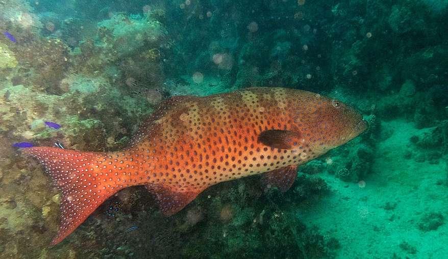 Ce mérou Plectropomus pessuliferus a été photographié en mer Rouge. Cet animal peut atteindre 130 cm de long et être observé jusqu'à 150 m de profondeur. © Jean-Loup Castaigne, Flickr, cc by nc sa 2.0