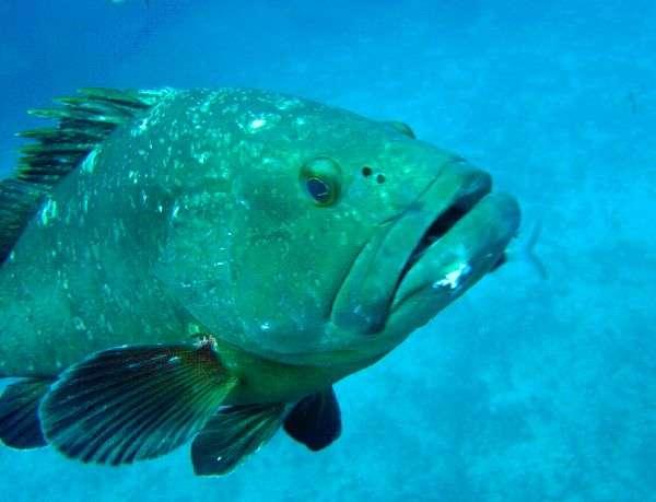 Le mérou brun est le poisson emblématique de la Méditerranée. Il se développe et se porte bien grâce depuis la mise en place des aires marines protégées. © Camille Albouy