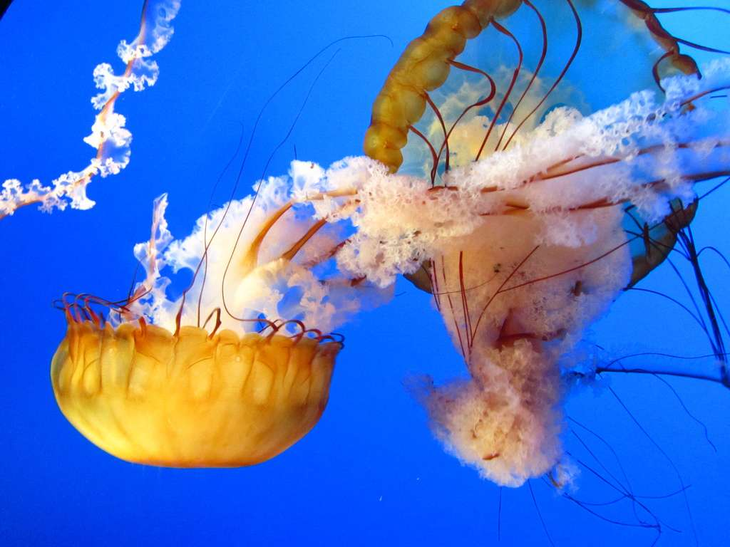 Les méduses se composent à 98 % d'eau et à 2 % de matière sèche. © Mini D, Flickr, cc by nd 2.0