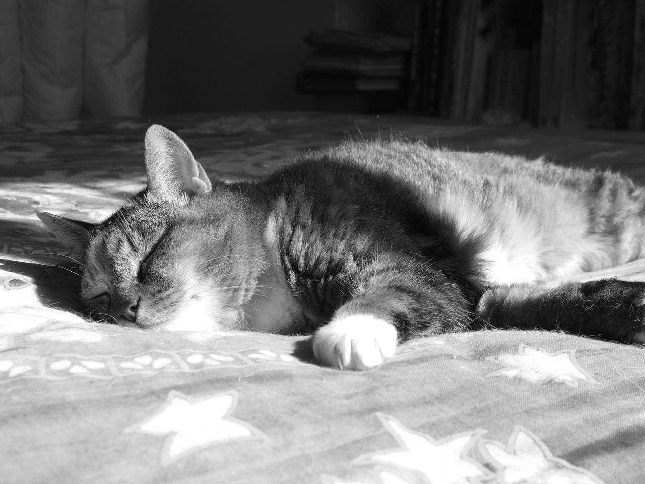 Les chats ont beau paraître très heureux lorsqu'ils dorment sur le lit, ils risquent d'induire des allergies en laissant leurs squames dans les draps. © Elfleda, Flickr, cc by nc nd 2.0