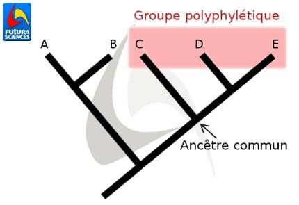 La sélection rouge représente un groupe polyphylétique. Il inclut les taxons C à E mais pas leur ancêtre commun. © Quentin Mauguit, Futura-Sciences