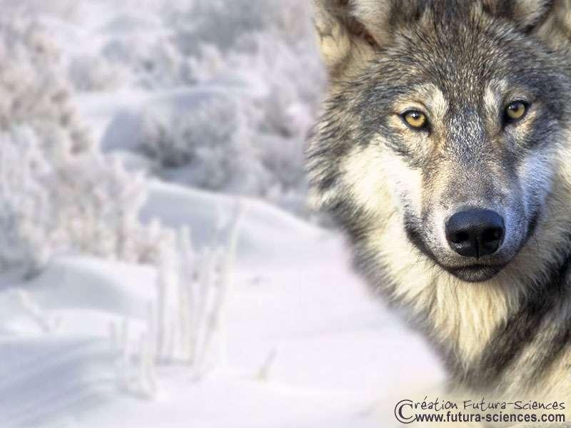 Le loup provoque autant la crainte que la fascination. Crédits Futura-Sciences.