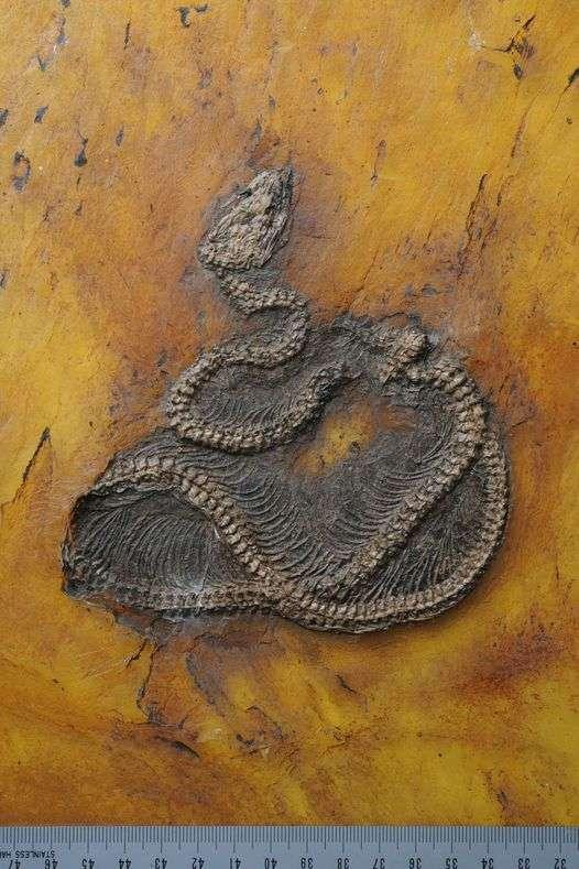 Messelopython freyi, le plus vieil ancêtre du Python, vivait en Europe il y a 48 millions d'années. © Senckenberg Gesellschaft für Naturforschung