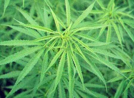 Cannabis : le produit illicite le plus consommé