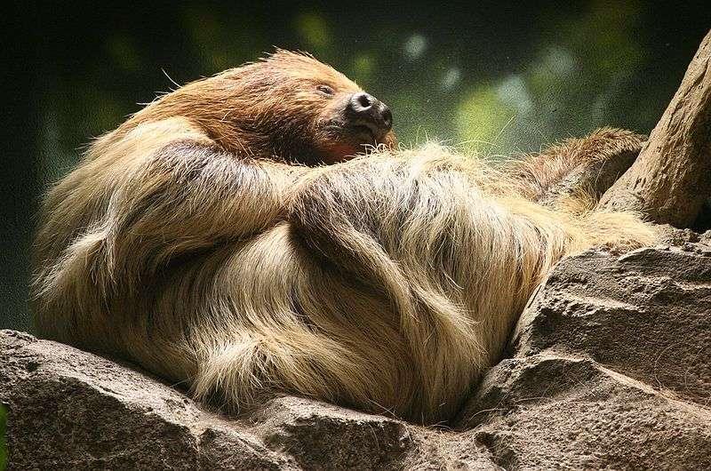 L'unau a la réputation d'être le mammifère le plus lent au monde. © Dave Pape, Wikipédia, DP