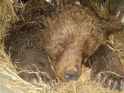 L'ourse Franska à la fin de son hibernation en 2007. Crédit 'La Buvette des Alpages'.