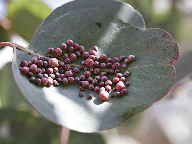 L'eucalyptus est originaire de Tasmanie, mais des espèces ont été introduites en Europe, en Afrique du Nord, en Ouganda, en Californie et sur certaines îles. Ces arbres s'adaptent très bien au climat méditerranéen et produisent des phytoestrogènes. Connus pour leurs vertus respiratoires, ils peuvent également modifier le comportement des colobes rouges, des singes d'Ouganda. © Fir0002/Flagstaffotos, Wikipédia, cc by nc