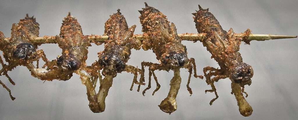 Les dix espèces d'insectes autorisées à la consommation humaine en Belgique sont déjà appréciées en Asie, où aucun problème lié à leur ingestion n'a été constaté. © the tαttσσed tentαcle, Flickr, cc by nc sa 2.0