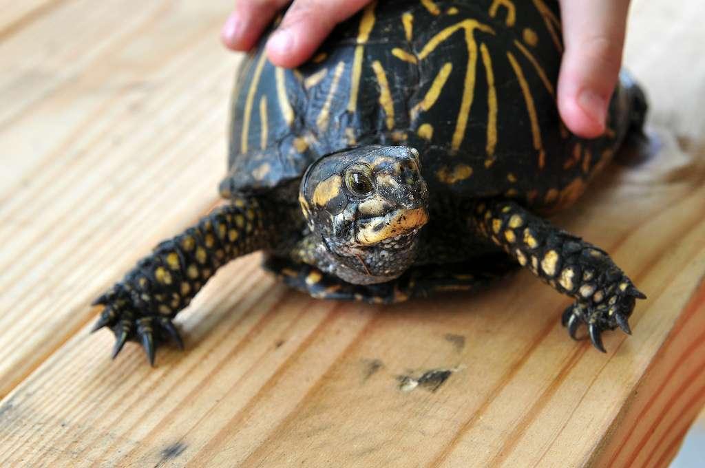 Les tortues, les animaux rêvés pour votre tout petit ? Mieux vaut réfléchir à deux fois avant d'en adopter une car elles transportent des germes dangereux pour la santé. © Melissa Hillier, Flickr, cc by 2.0