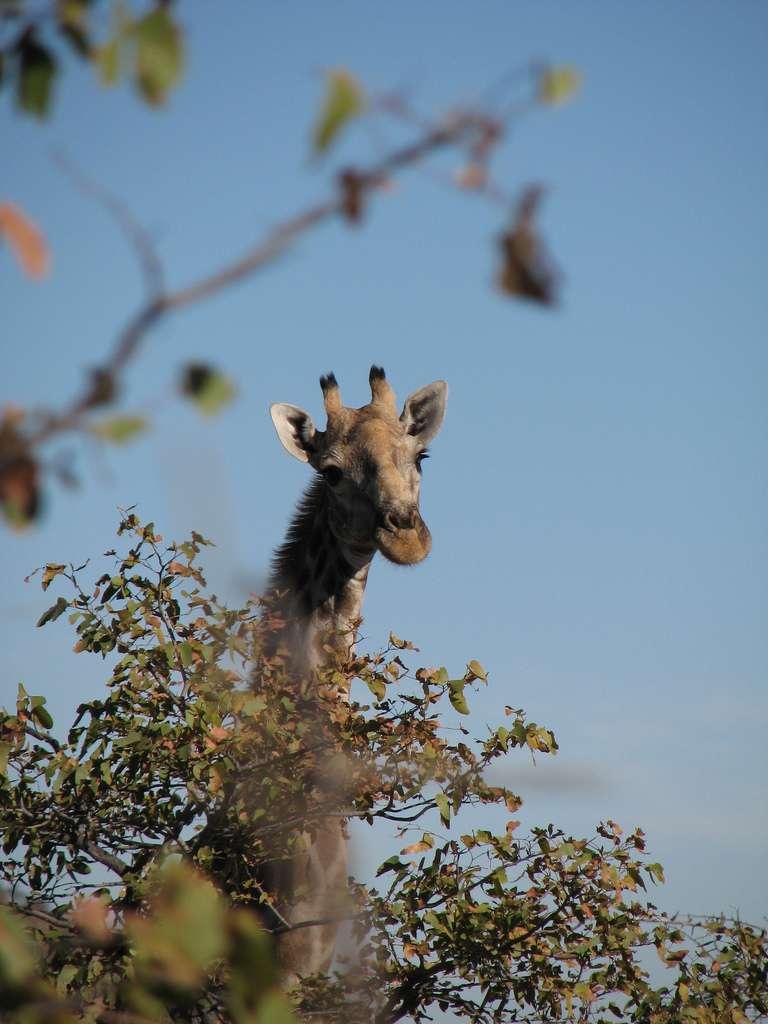 La girafe Giraffa camelopardalis est un ruminant, comme les vaches, pouvant atteindre une vitesse de 56 km/h en course. Son espérance de vie serait comprise entre 25 et 30 ans. © Ecololo, Flickr, CC by-nc-sa 2.0