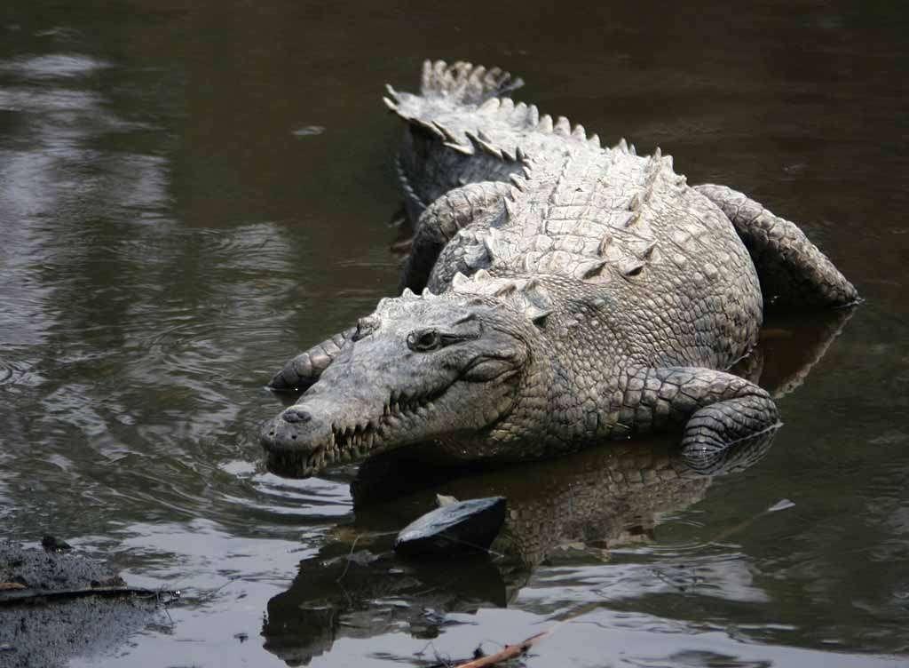 Crocodile américain (ici photographié en liberté au Mexique). Source Commons
