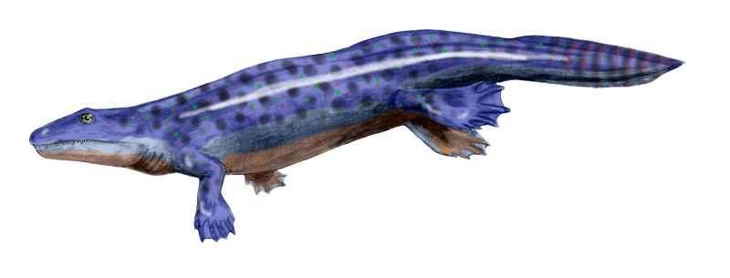 Ichthyostega fut l'un des premiers tétrapodes, ayant vécu durant le Dévonien supérieur. © Nobu Tamura, Wikipédia, cc by sa 3.0