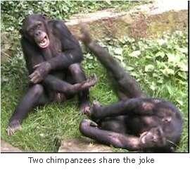 Deux chimpanzés en train de partager une bonne plaisanterie. © Université de Portsmouth
