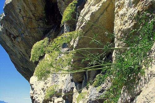 Une falaise comporte en général des microclimats influencés par la nature de la roche, l'ensoleillement et l'exposition de la falaise ainsi que les réserves en eau du substrat. Les flancs nord et sud d'une falaise présentent en général une flore différente pour cette raison. © *Pascal*, cc by 2.0