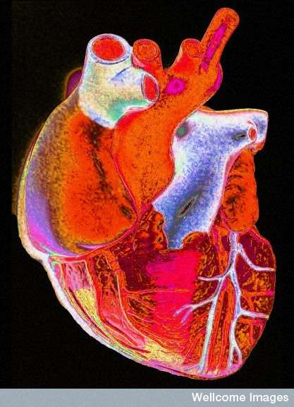 Le cœur fonctionne comme une pompe et assure la circulation de quatre à cinq litres de sang dans l'organisme. © Wellcome Images, Flickr, cc by nc nd 2.0