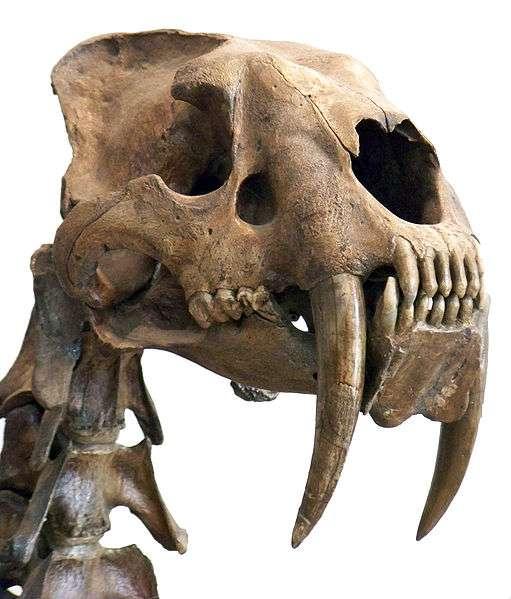 D'après leur morphologie, leur mâchoire et leur impressionnante dentition étudiées par les biomécaniciens, les trois espèces de tigre à dents de sabre (Smilodon) étaient des superprédateurs de bisons, d'équidés et de camélidés. Des recherches sont également en cours pour tenter de ramener le félidé disparu voici 10.000 ans à la vie. © Wallace63, Wikimedia Commons, cc by sa 3.0