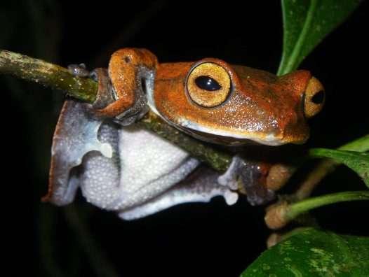 Hélène, la grenouille arboricole, n'est pas la seule espèce de grenouille volante. Voici Rhacophorus vampyrus, la grenouille volante vampire. Elle a également été découverte au Vietnam, en 2010. © Jodi J. L. Rowley, Australian Museum