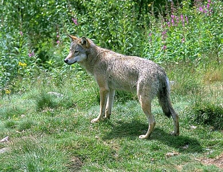 Loup gris. © Andreas Tille, GNU FDL Version 1.2