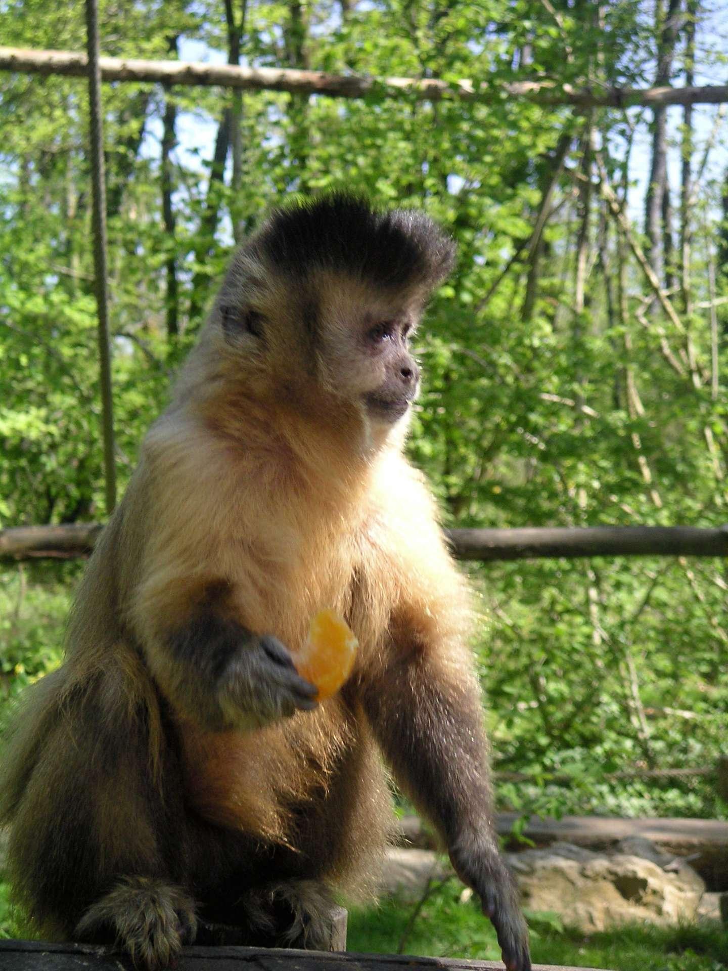 Avec son air rusé, le capucin à houppe noire n'est pas naïf. S'il trouve qu'une personne est trop égoïste, il ne la laissera pas lui offrir un traitement de faveur. © Wikihobby, DP