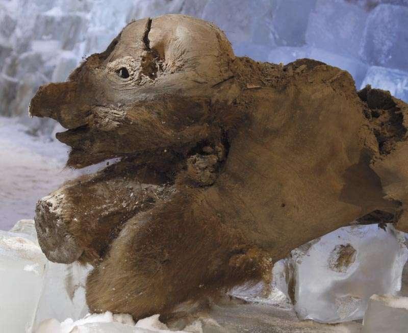 Khroma, le bébé mammouth, dans son congélateur. Crédit : Francis Latreille