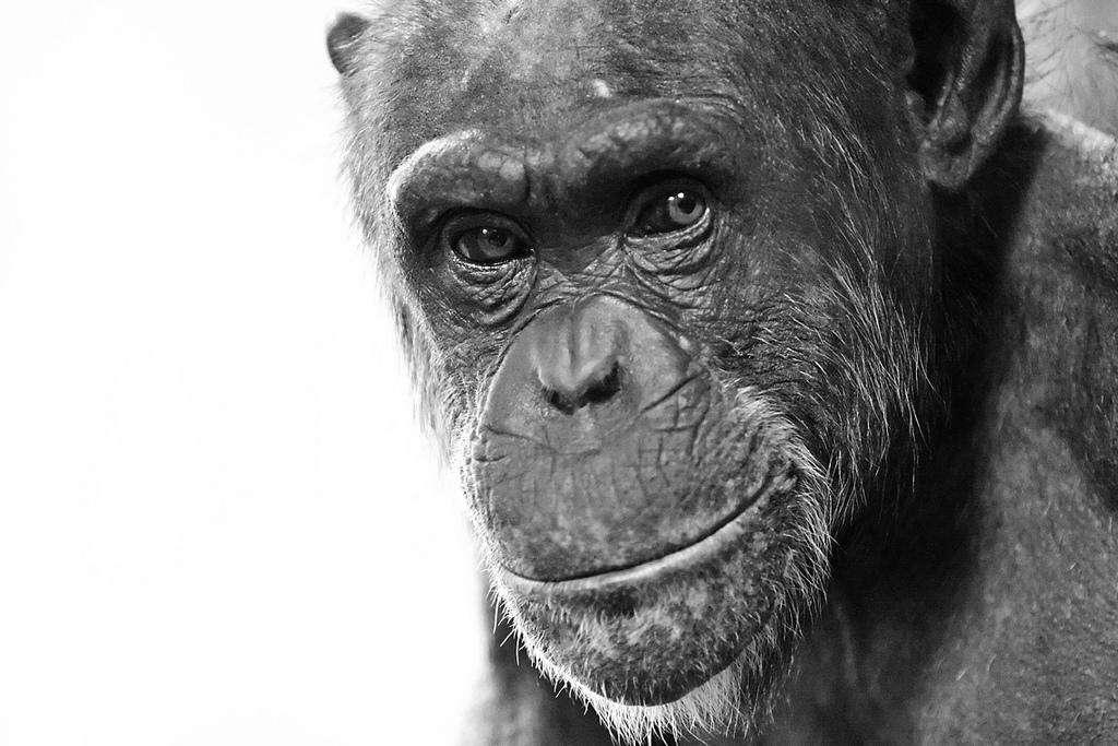 Les chimpanzés, nos plus proches parents, sont bien mauvais au lancer de balle. Pourtant, ce n'est pas les muscles qui leur manquent. Juste une épaule spéciale et une morphologie adaptée au jet d'objets. © Convex creative, Flickr, cc by 2.0