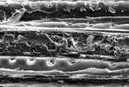 Photo : © INRA / C. RoseDétail de fibres de bois intactes insérant une fibre dont la paroi a fondu, vu en microscopie électronique à balayage.