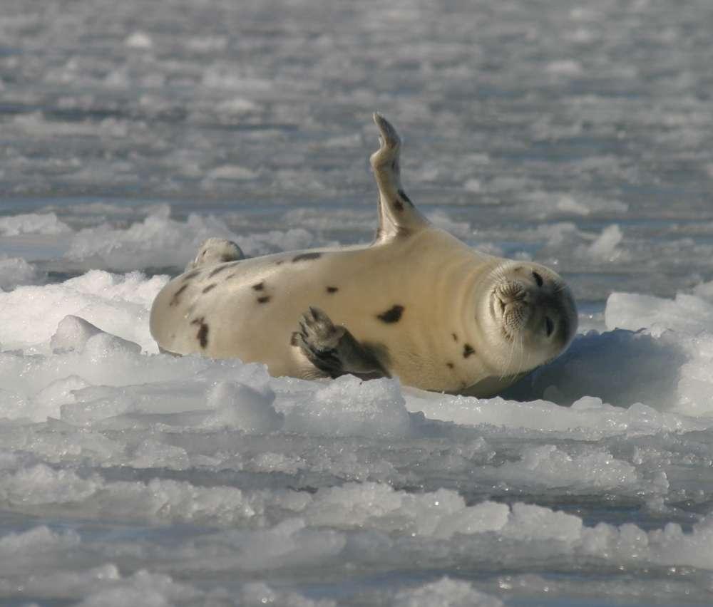 Le phoque du Groenland (Pagophilus groenlandicus) est classé parmi les carnivores en raison de son régime alimentaire et de son appartenance à l'ordre des carnivores. © Gale CC by-nc-nd 2.0