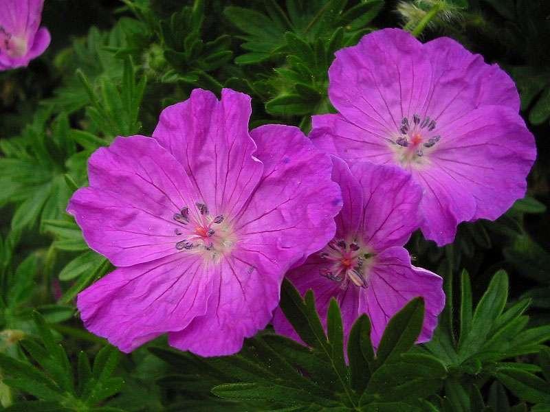 Pour avoir de beaux géraniums, il faut choisir un bon terreau de jardin. Crédits : Bouba - Wikipedia