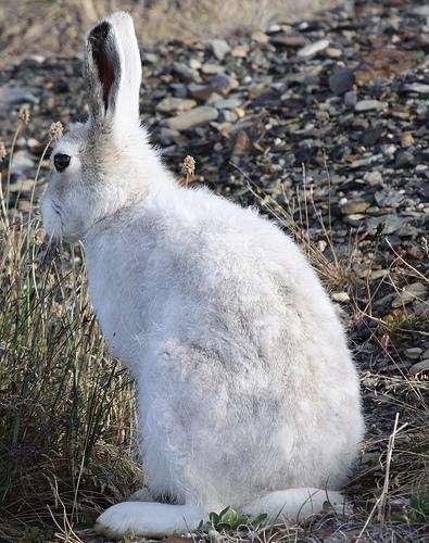 Globalement, les populations de vertébrés de l'Arctique, tel ce lièvre arctique (Lepus arcticus), se sont accrues de 16% depuis 35 ans. © Drew Avery CC by