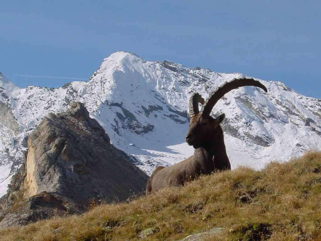 Le superbe bouquetin des Alpes semble sauvé. Une exception ? Source Commons