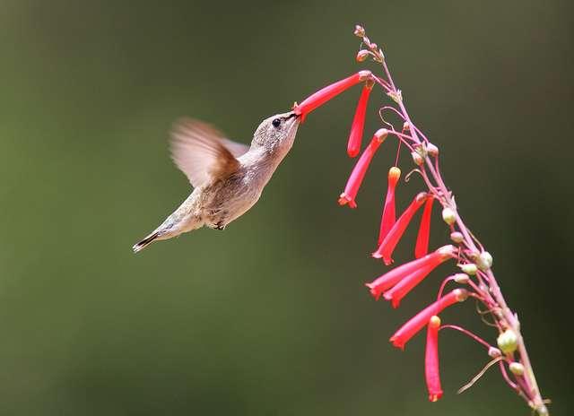 Le colibri, qui pratique le vol stationnaire, est un oiseau pollinisateur. © steveberardi, Flickr, cc by sa 2.0