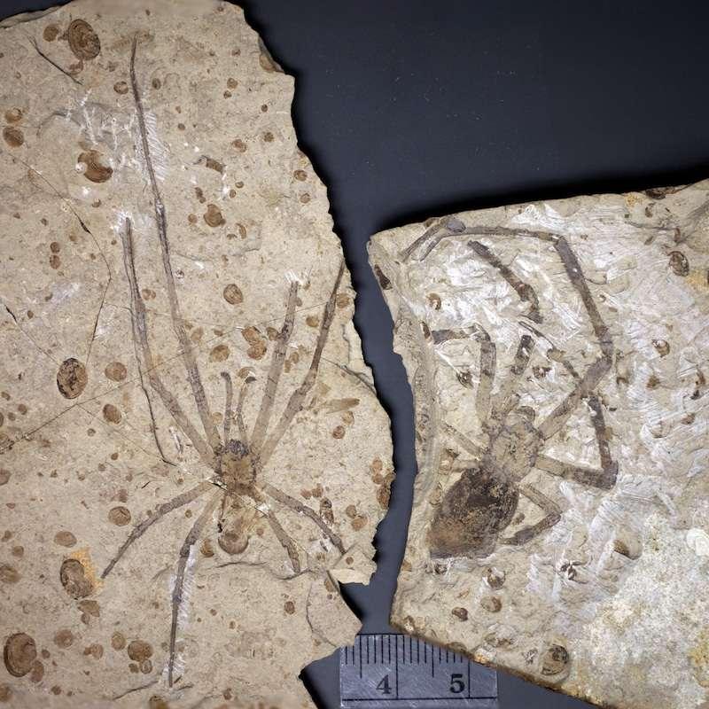 Sur la droite de cette photographie se trouve la plus grande araignée fossile connue, celle qui a été décrite en 2011. Il s'agit d'une Mongolarachne jurassica de sexe féminin. À gauche se trouve le fossile de l'individu mâle décrit en 2013. © Selden et al., 2013, Naturwissenschaften