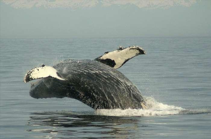 Les baleines, au sommet de la chaîne alimentaire, concentrent les polluants tout au long de leur vie, et notamment les radio-éléments libérés lors de la catastrophe de Fukushima. © Lou Romig-fotopedia-CC BY 3.0