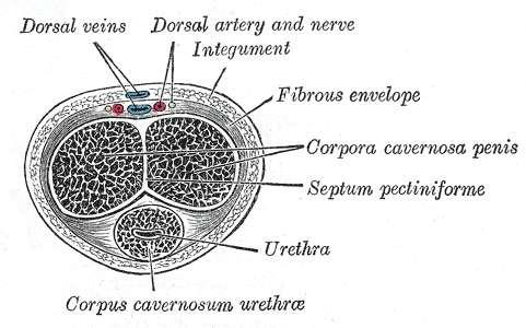 Les corps caverneux, ici nommés corpora cavernosa penis, sont faits d'un tissu spongieux, extensible et composé d'espaces lacunes, qui se gorgent de sang durant l'érection. À eux deux, ils emmagasinent environ 90 % du sang nécessaire à l'érection, contre le reste pour le corps spongieux corpus cavernosum urethræ. © Henry Gray, Gray's Anatomy, Wikipédia, DP
